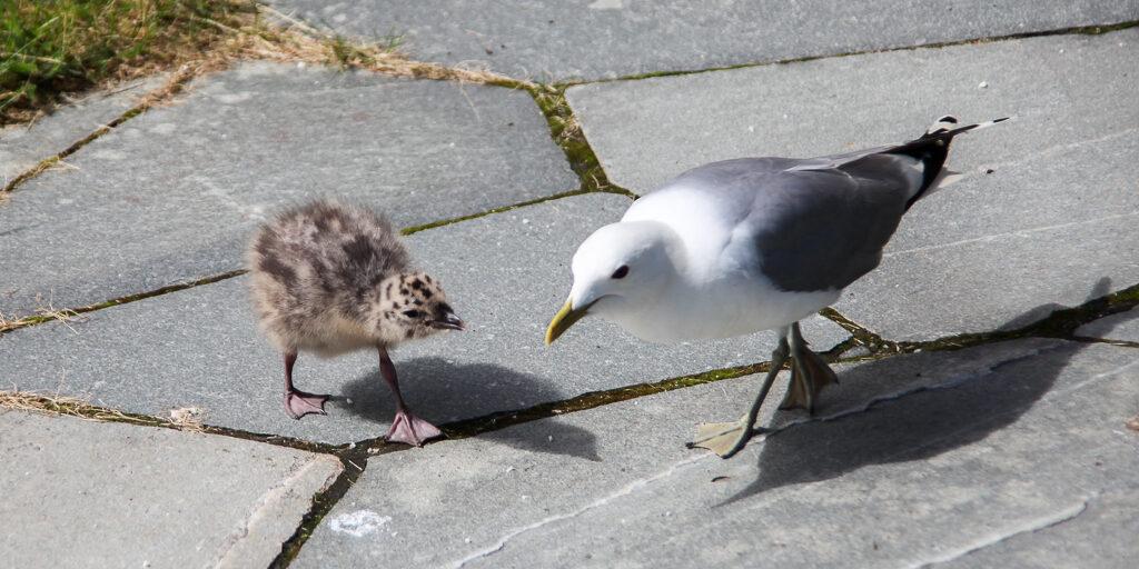 Чайки и их птенцы